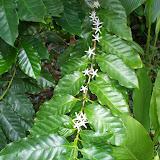 Caffee auf Ometepe