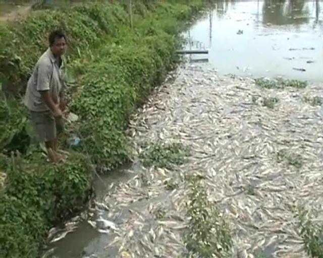 Cuaca ekstrim, Ribuan Ikan Patin Mati Membusuk