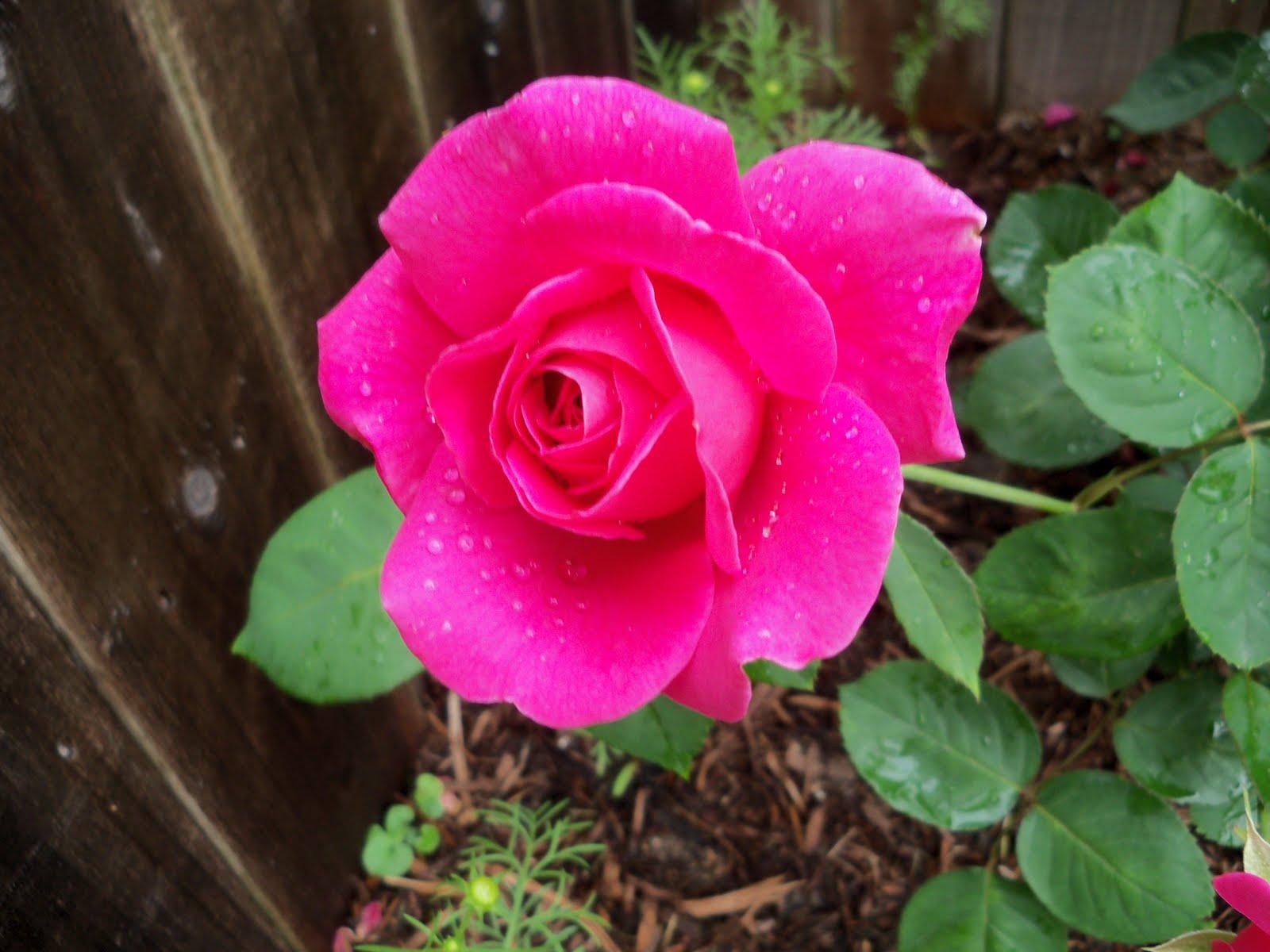 Gardening 2010 - 101_1564.JPG