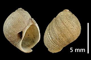#26 Sigaretotrema striatella (GRATELOUP 1828) 8,5x6,5mm