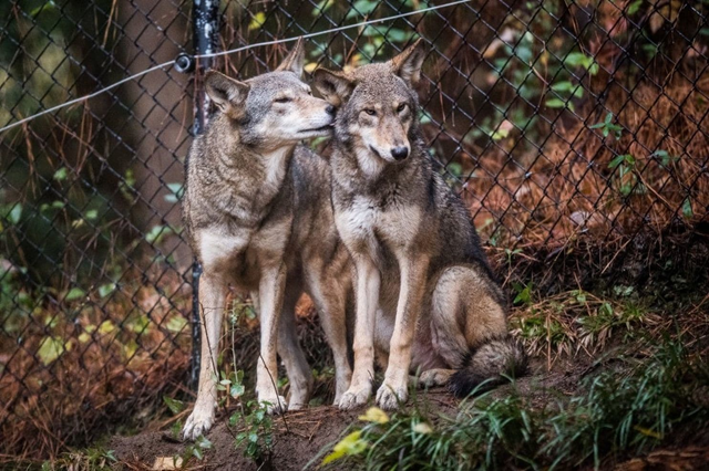 A captive red wolf grooms another at the North Carolina Museum of Life Science in Durham, N.C., in November 2017. Photo: Salwan Georges / The Washington Post