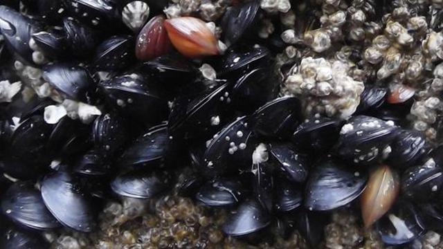 Bay Mussels (Mytilus trossulus) on Edmonds Ferry Dock, Washington State. Photo: brewbooks / flickr