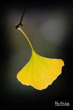 Photo: Gingko Symbol