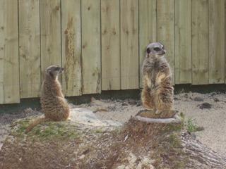 2008.07.01-049 suricates