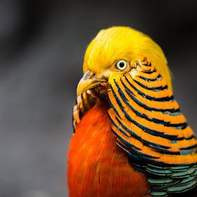BDI by Rory McDonald - Animals Birds ( golden pheasant, birds. )