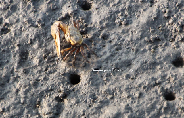 Another variety of the fiddler crab