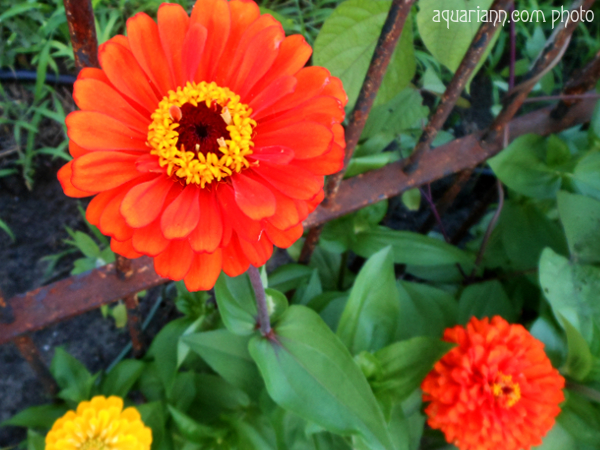 Orange Zinnia Flower Photo By Aquariann