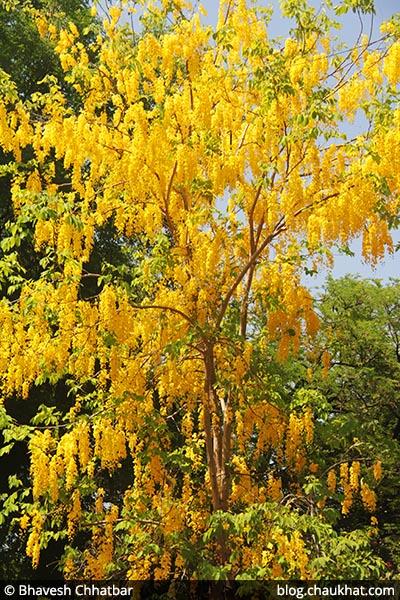 Golden Shower Tree AKA Amaltas, Cassia fistula, Garmalo, Bandar Lathi, Bahava, Sunari, Aragvadha, Chaturangula, Kritamala, Suvarnaka