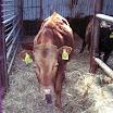 koeien 012.jpg
