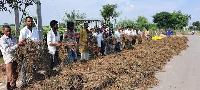 उड़द व मूंग की फसल बारिश से फिर अंकुरित, किसानों में छाई मायूसी