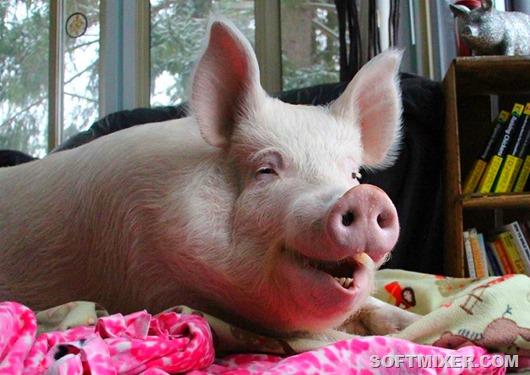 30-Радостная свинья Эстер