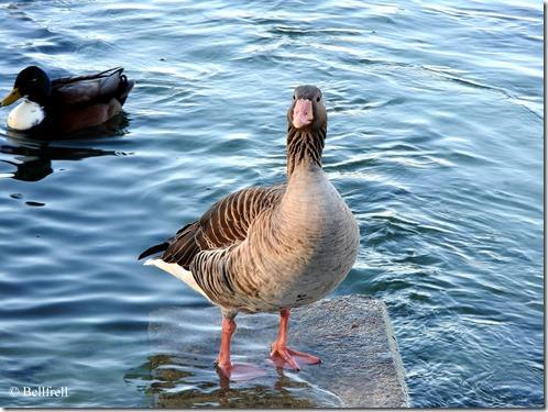 Gans Ente und Möwen (3)