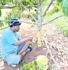 PT Batulicin 69 Tanam Ratusan Pohon Durian di Pulau Burung