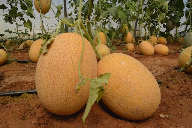 La culture de melon