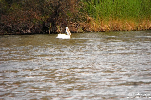 Delta Dunarii - un pelican singuratic