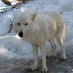 2009_01_25_Wolves