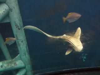 2016.05.01-043 requin zèbre