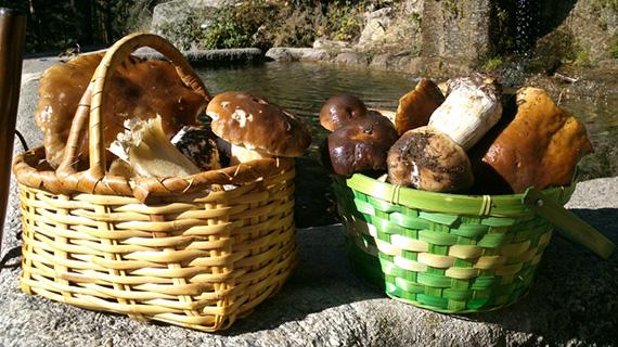 Precauciones en la recogida y consumo de setas silvestres