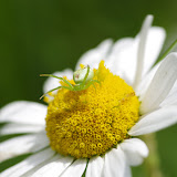 Thomisidae : Ebrechtella tricuspidata (FABRICIUS, 1775). Les Hautes-Lisières (Rouvres, 28), 14 juin 2012. Photo : J.-M. Gayman