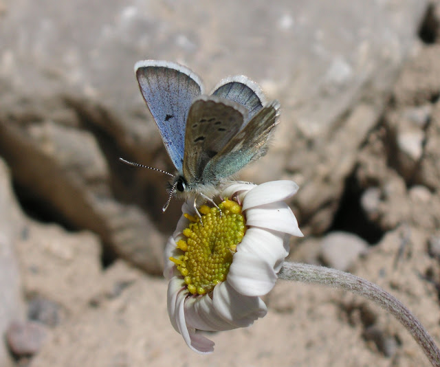 Agriades pheretiades tekessana ALPHÉRAKY, 1897. Kara-Say (Koksaal Alatau, Kyrgyzistan), 12 juillet 2006. Photo : J. Michel