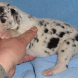 show marked harlequin boy @ 10 days/available
