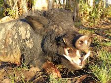 big tusker, 21cm