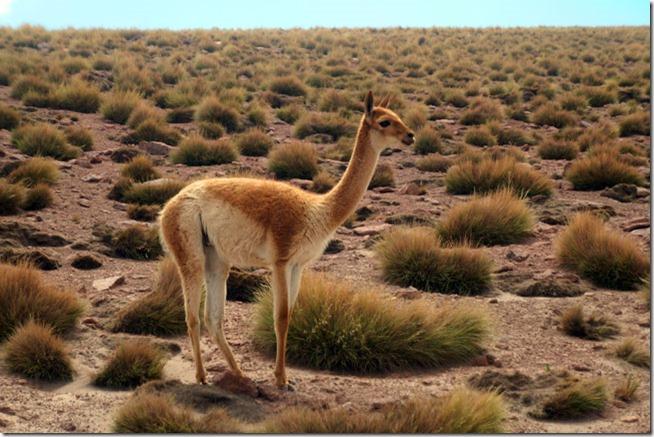 Vicunha pastando Deserto de Atacama