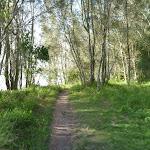 She Oak trees on Green Point beside Lake Macquarie (389729)