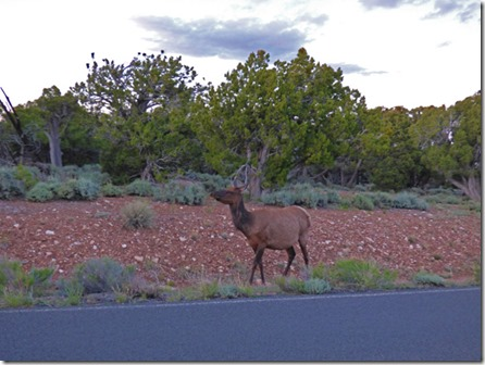 Elk near Desert View Campground, Grand Canyon