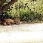 chattbir zoo lion1.jpg