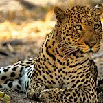 Africa 2008 Leopard 2 copy.jpg