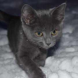 Snow days by Mick Radford - Animals - Cats Kittens ( kitten, snow, cat, baby, animal,  )
