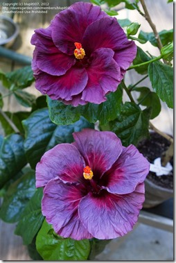 purple hibiscus 3