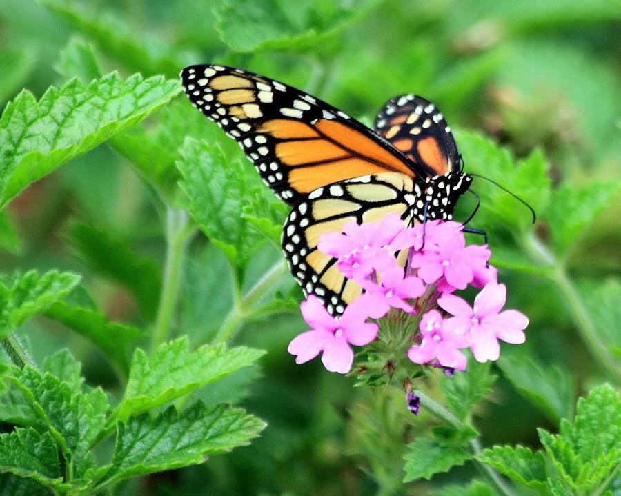 Monarch Migration 2015 by Brenda Redford - Animals Insects & Spiders ( butterfly, monarch migration, monarch )