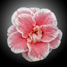 OLI Camellia 05 by Michael Moore - Flowers Single Flower (  )
