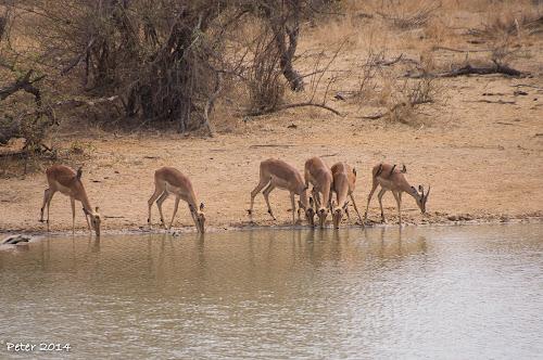 Impala bezoek