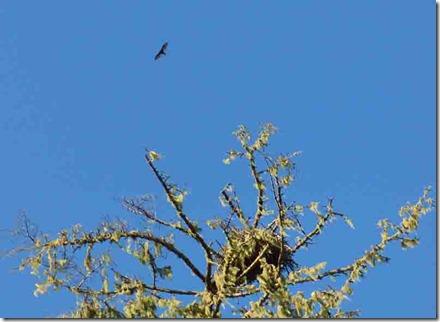 Osprey, Gold Beach Oregon