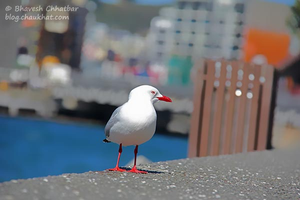 A seagull at Frank Kitts Park at Wellington [New Zealand]