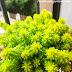 How to Propagate Sedum from cuttings