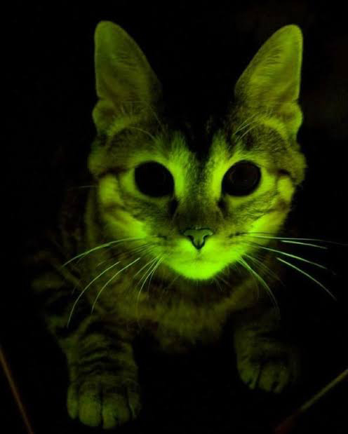 While trying to find a cure for AIDS, the Mayo Clinic made glow in the dark cats.