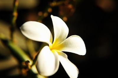 Champa Flower information in marathi