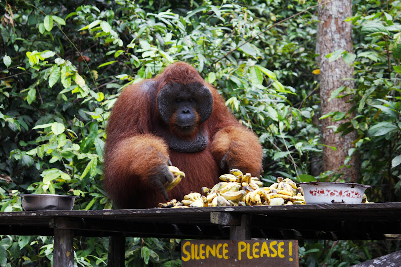 El macho alfa de Pondok Tangui Station sobre la plataforma de alimentación