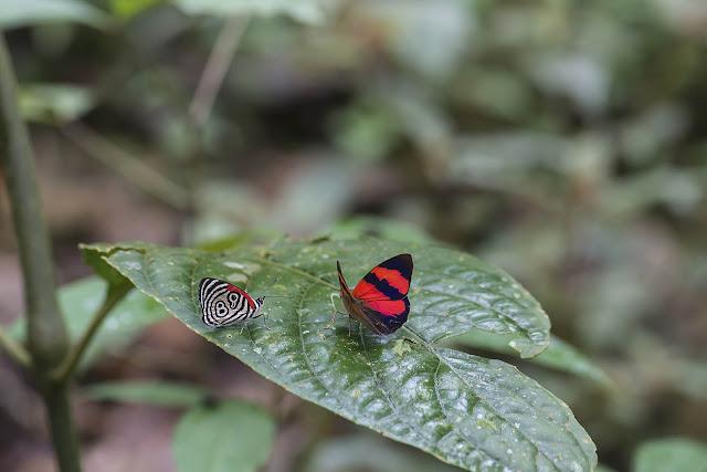 Diaethria clymena colombiana (Viette, 1958) et Temenis pulchra pulchra (Hewitson, 1861). Bosque Bavaria (Villavicencio, Meta, Colombie), 9 novembre 2015. Photo : B. Lalanne-Cassou