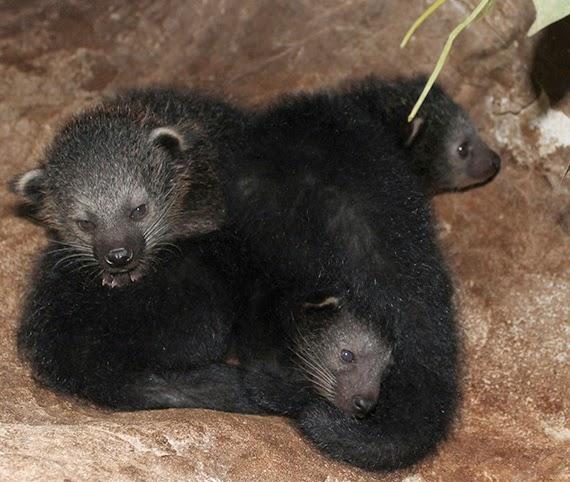 Nacimiento primeras crías de Binturong en Faunia