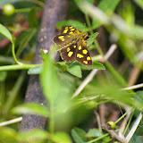 Carterocephalus alcinoides LEE, 1962. Shibao Shan (2100 m) au-dessus de Shaxi (Yunnan), 8 août 2010. Photo : J.-M. Gayman