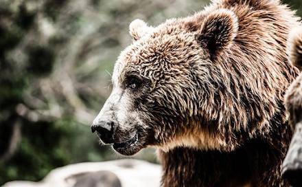 Νεκρή από σφαίρες βρέθηκε αρκούδα στην περιοχή Βροντερό Πρέσπας