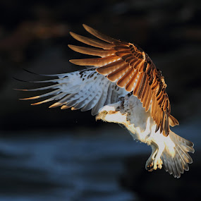 Osprey alighting by Howard Ferrier - Animals Birds ( sunshine coast, bird, flying, wings, airborne, caloundra, kings beach, osprey,  )
