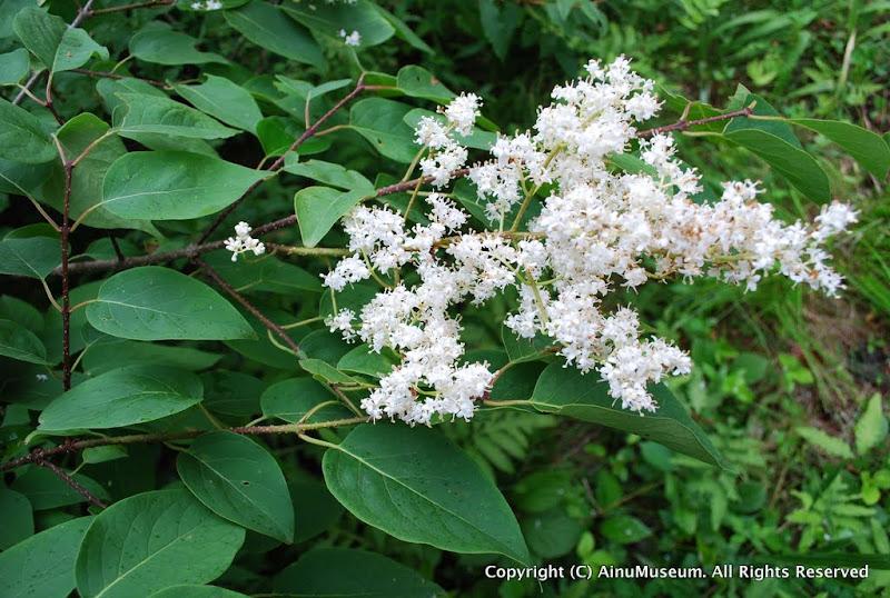 ハシドイの花