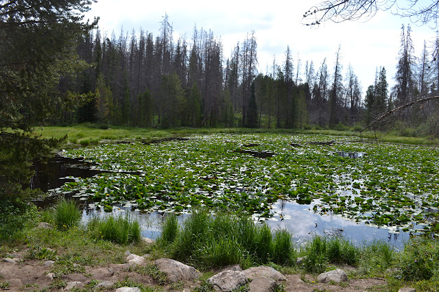 lily pad choked pond