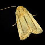 Noctuinae : Hadeninae : Leucania diatrecta BUTLER, 1886. Umina Beach (NSW, Australie), 26 octobre 2011. Photo : Barbara Kedzierski